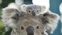 Billabong Koala and Wildlife Park - Yamba Accommodation
