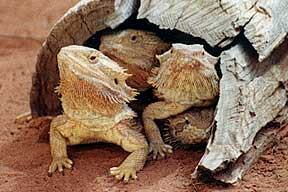 Alice Springs Reptile Centre - Yamba Accommodation